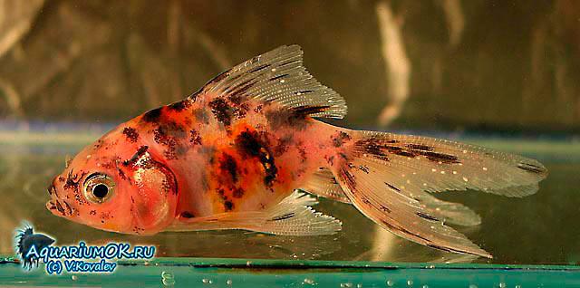 Ихтиофтириоз у ситцевой золотой рыбки