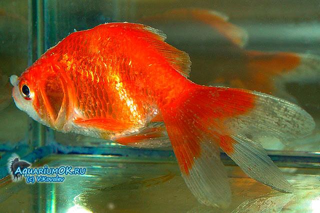 Ихтиофтириоз у золотой рыбки