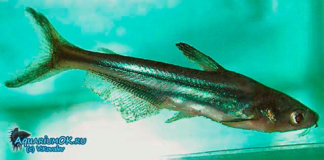 Акулий сомик, больной ихтиофтириозом