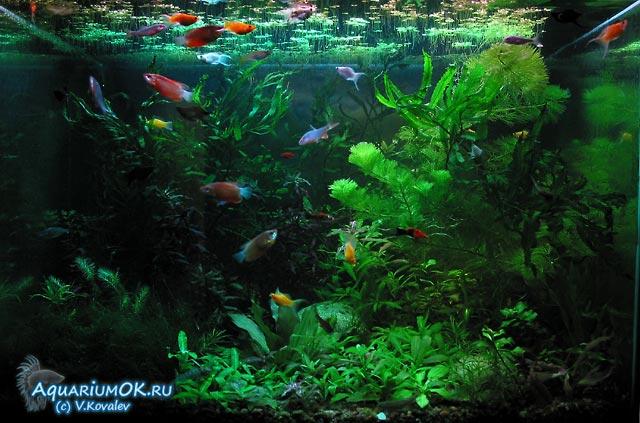 Лечение рыб от ихтиофтириоза, фото 2.
