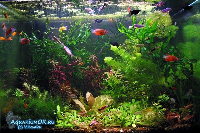 Лечение рыб от ихтиофтириоза малахитовым зеленым, фото 1