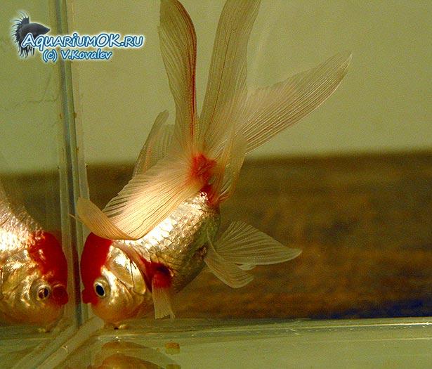Отравление золотой рыбки аммиаком.