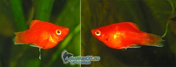 Внешний вид живородящей рыбки при низких значениях рН.