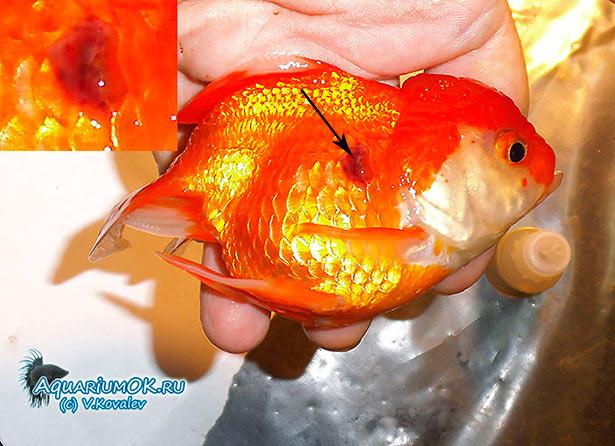 язвенная болезнь аквариумных рыбок камета