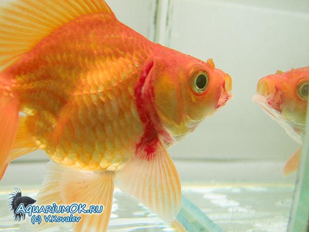 Начальные фаза заболевания краснухой карповых у риукина (золотая рыбка)