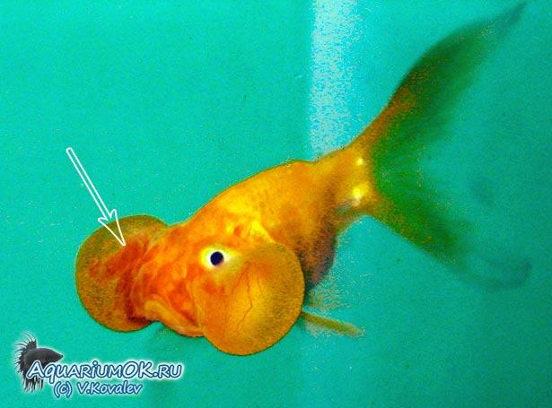 Кровоизлияния у водяных глазок (золотая рыбка) как симптом краснухи карповых рыб.