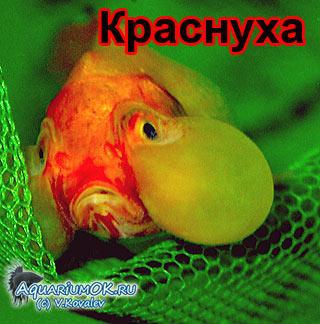 Краснуха карповых у аквариумных рыб