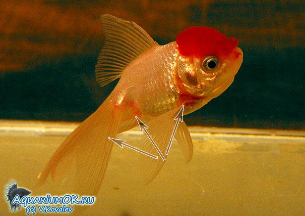 Болезни аквариумных рыб и их лечение краснуха кольпоскопия шейки матки последствия