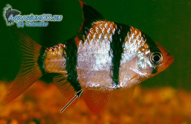 У рыбки воспаленное анальное отверстие