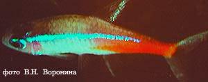 Неоновая болезнь (плейстофороз) у голубого неона.