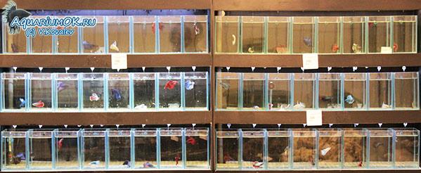 Продажа сиамских петушков в АкваИнтерио.