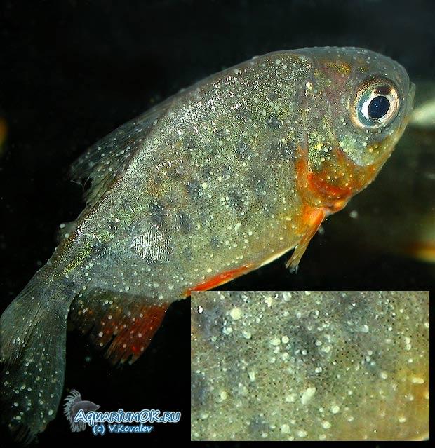 аквариум болезнь рыб фото