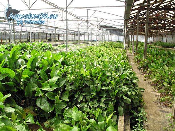 Выращивание эхинодорусов на ферме в Сингапуре