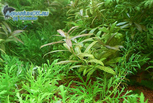 Растения-индикаторы подходящих условий. Хорошо растут без специальных ухищрений.