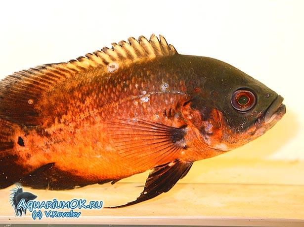 Дырки на теле рыбы
