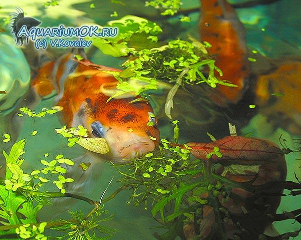 Подкормка для рыбы из манки